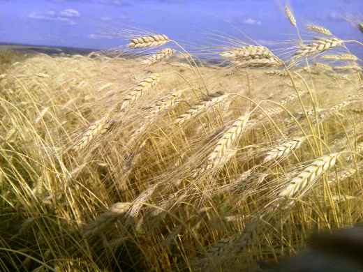 Российская Федерация потеряла 10% урожая из-за дефицита техники— Минсельхоз