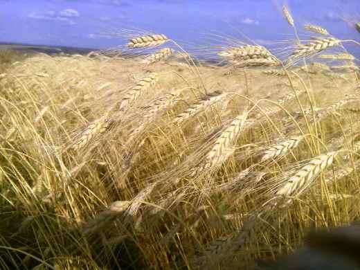 ВБашкирии собрано неменее 3 млн тонн зерна